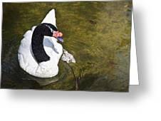 Blacknecked Swan Greeting Card