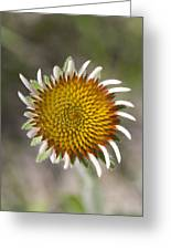 Blacksamson Echinacea Greeting Card