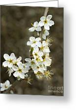 Blackthorn Or Sloe Blossom  Prunus Spinosa Greeting Card