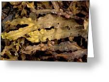 Bladder Wrack (fucus Vesiculosus) Greeting Card