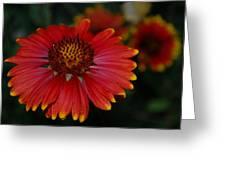 Blanket Flower II Greeting Card