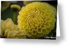Blazing Yellow Dahlia Greeting Card