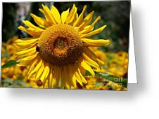 Blazing Yellow Sunflower Greeting Card