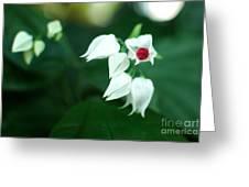 Bleeding Heart Vine Blossom Greeting Card