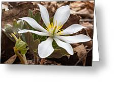 Blood Root 1 Greeting Card