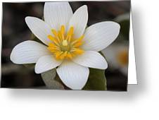 Bloodroot Beauty Greeting Card
