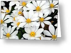 Bloodroot Blooms Greeting Card