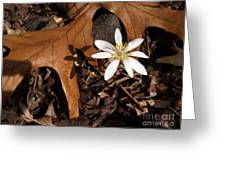 Bloodroot On Forest Floor - Pennsylvania Greeting Card