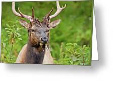 Bloody Elk Greeting Card