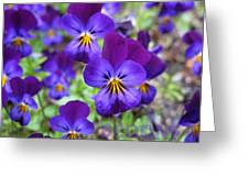 Bloom Purple Violets Greeting Card