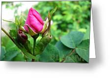 Bloom Wild Rose Bud Greeting Card