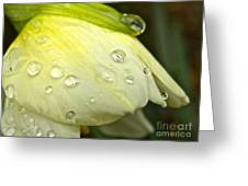 Blooming Daffodil With Raindrops Greeting Card