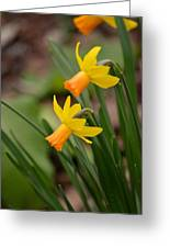 Blooming Daffodils Greeting Card