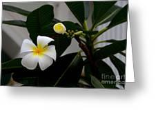 Blooming Frangipani Flower Alongside Bud Greeting Card