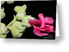 Blooming Pink Hollyhock Greeting Card