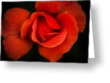 Blooming Red Rose Greeting Card