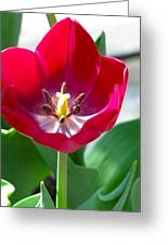 Blooming Red Tulip Greeting Card