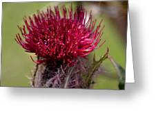 Blooming Spear Thistle Greeting Card