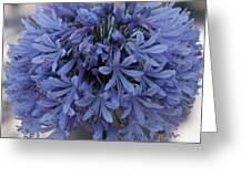 Blue Agapanthus Greeting Card