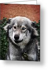 Blue And Brown Eyed Husky Greeting Card