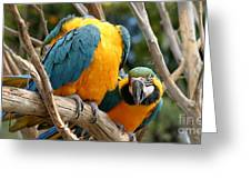 Blue And Gold Macaws Greeting Card
