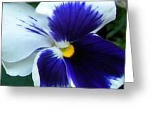Blue And White Pansy Greeting Card
