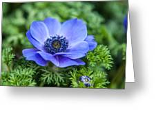 Blue Anemone. Flowers Of Holland Greeting Card