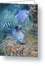 Blue Angelfish Feeding On Coral Greeting Card