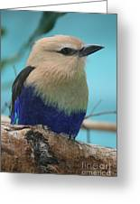 Blue-bellied Roller Greeting Card