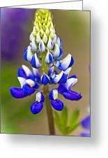 Blue Bonnets Lupinus Greeting Card