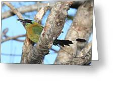 Blue-crowned Motmot Greeting Card