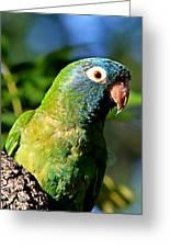 Blue-crowned Parakeet Greeting Card by Ira Runyan