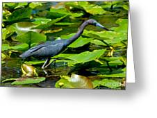 Reddish Egret Among The Lily Pads Greeting Card