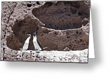 Blue Footed Boobies Displaying Greeting Card