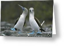 Blue Footed Booby Dancing Greeting Card