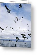 Blue-footed Booby Diving For Herring Greeting Card