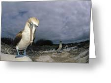 Blue-footed Booby Galapagos Islands Greeting Card