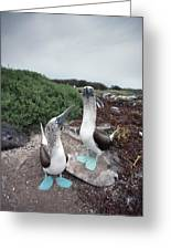 Blue-footed Booby Pair Courting Greeting Card