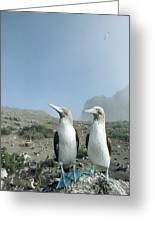 Blue-footed Booby Pair With Nesting Greeting Card