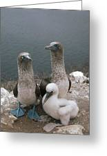 Blue-footed Booby Parents With Chick Greeting Card