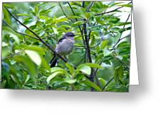 Blue-gray Gnatcatcher Greeting Card