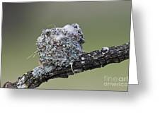 Blue-gray Gnatcatcher Nest Greeting Card