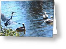 Blue Heron And Pelicans Greeting Card