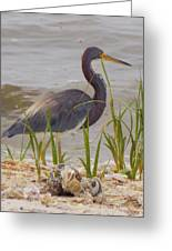 Blue Heron On Oyster Shell Beach Greeting Card
