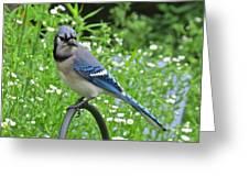 Blue Jay 105 Greeting Card