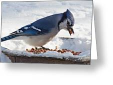 Blue Jay Chow-down Greeting Card