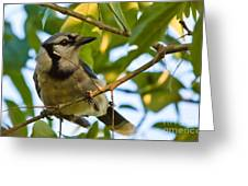 Blue Jay In Hiding Greeting Card
