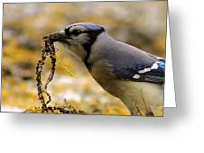 Blue Jay Nest Building Greeting Card