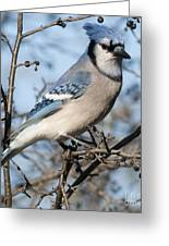 Blue Jay.. Greeting Card