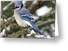 Blue Jay On Hemlock Greeting Card